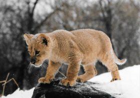 Baby Shakka (Lion)