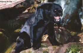 Vultar (Black Asian Leopard)