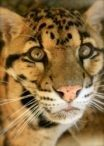 Dewey (Clouded Leopard)