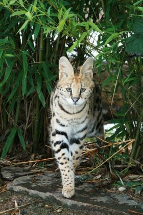 Indie (Serval)
