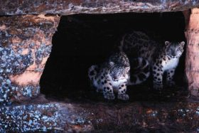 Jetta & Yeti (Snow Leopards)