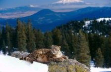 Jetta (Snow Leopard)