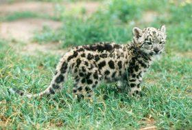 Baby Jetta (Snow Leopard)