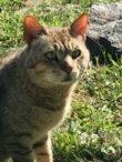 Kabeer (African Wildcat)