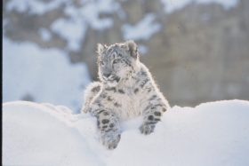 Kayla (Snow Leopard)