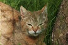 Magic (African Wildcat)