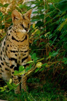 Malenka (Serval)