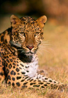 Meiki (Amur Leopard)