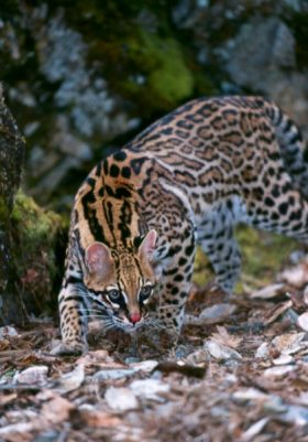 Peppy (Ocelot)