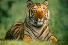 Sasha (Bengal Tiger)