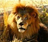 Shakka  (Lion)