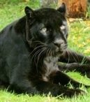 Taboo (Black Asian Leopard)