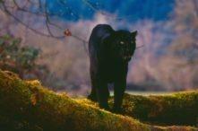 Taboo (Black Asian Leopard)