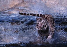 Tari (White Bengal Tiger)