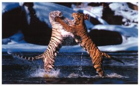 Tari and Sampson (Bengal Tigers)