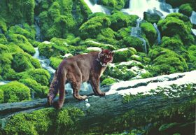 Taz (Cougar)