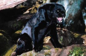 Vultar (Black Asian Leopard)