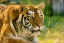 Zina (Siberian Tiger)