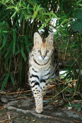 Indie the Serval