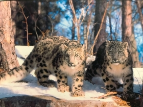 Jetta and Yetti the Snow Leopards