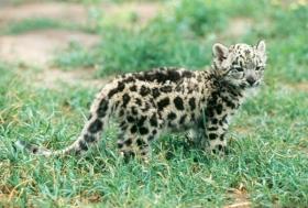 Baby Jetta the Snow Leopard