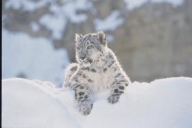 Kayla the Snow Leopard
