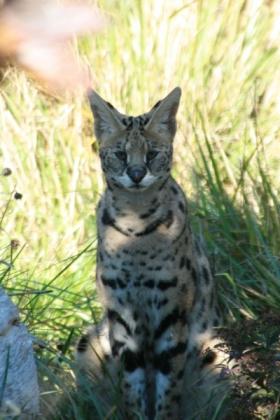 Malenka the Serval