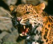 Meiki the Amur Leopard