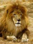 Shakka the Lion