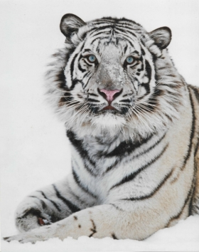 Tari the White Tiger