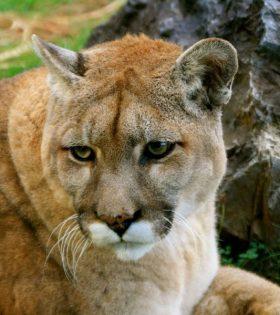Tika the Cougar