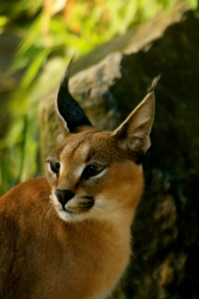 Twister the Caracal
