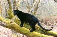 Vultar the Black Leopard