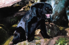Vultar the Black Leopard
