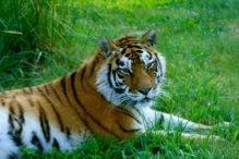 Zina the Siberian Tiger