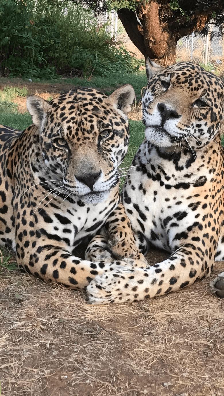 Jaguar_Portrait