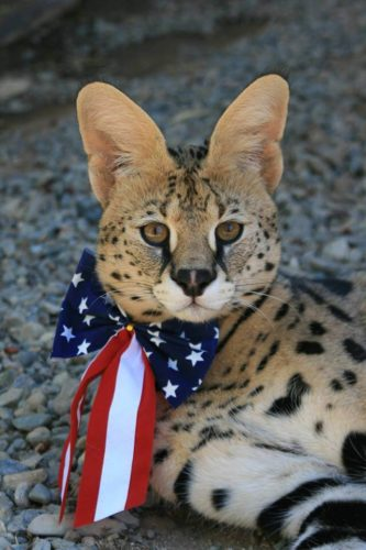 Serval wears a patriotic bow.