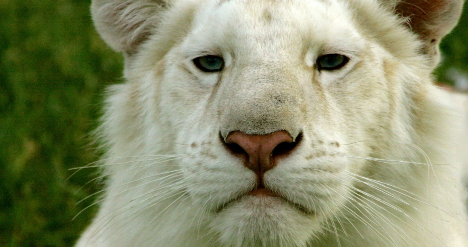 Close-up of Sugar, the white tiger.