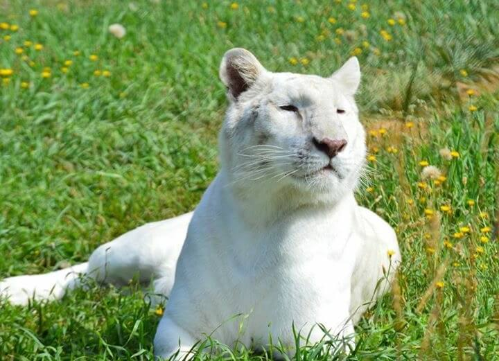 Solid white tiger relaxes in the sun and grass.