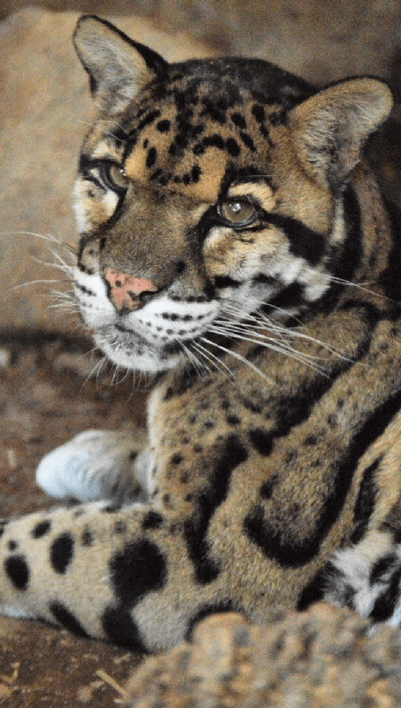 Clouded_Leopard_Portrait