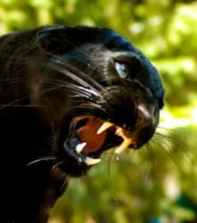 Dexter the black jaguar
