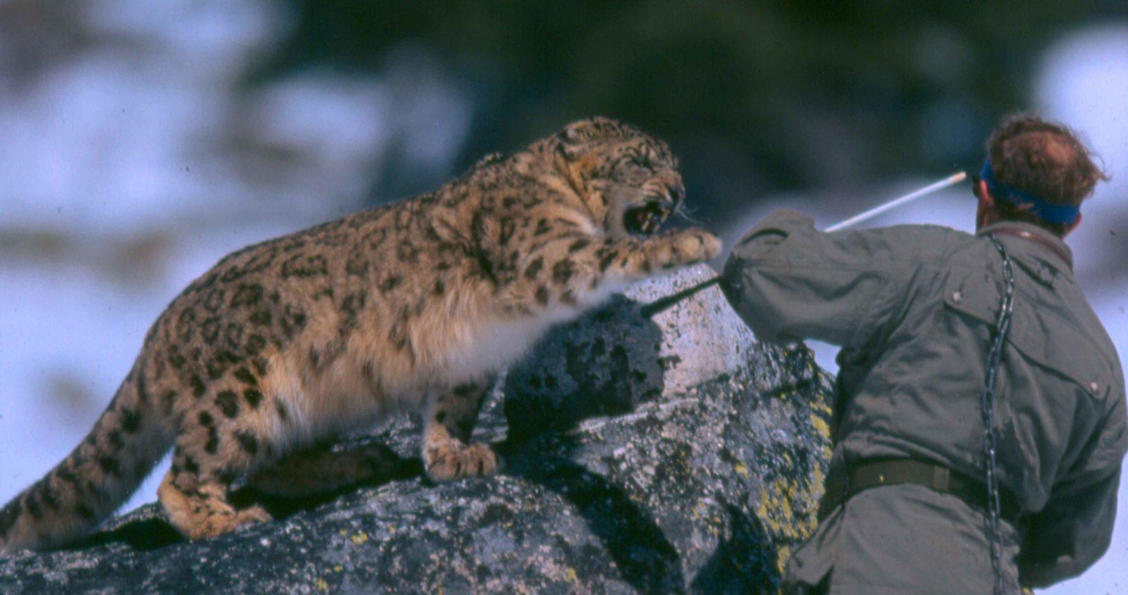 Jetta the snow leopard
