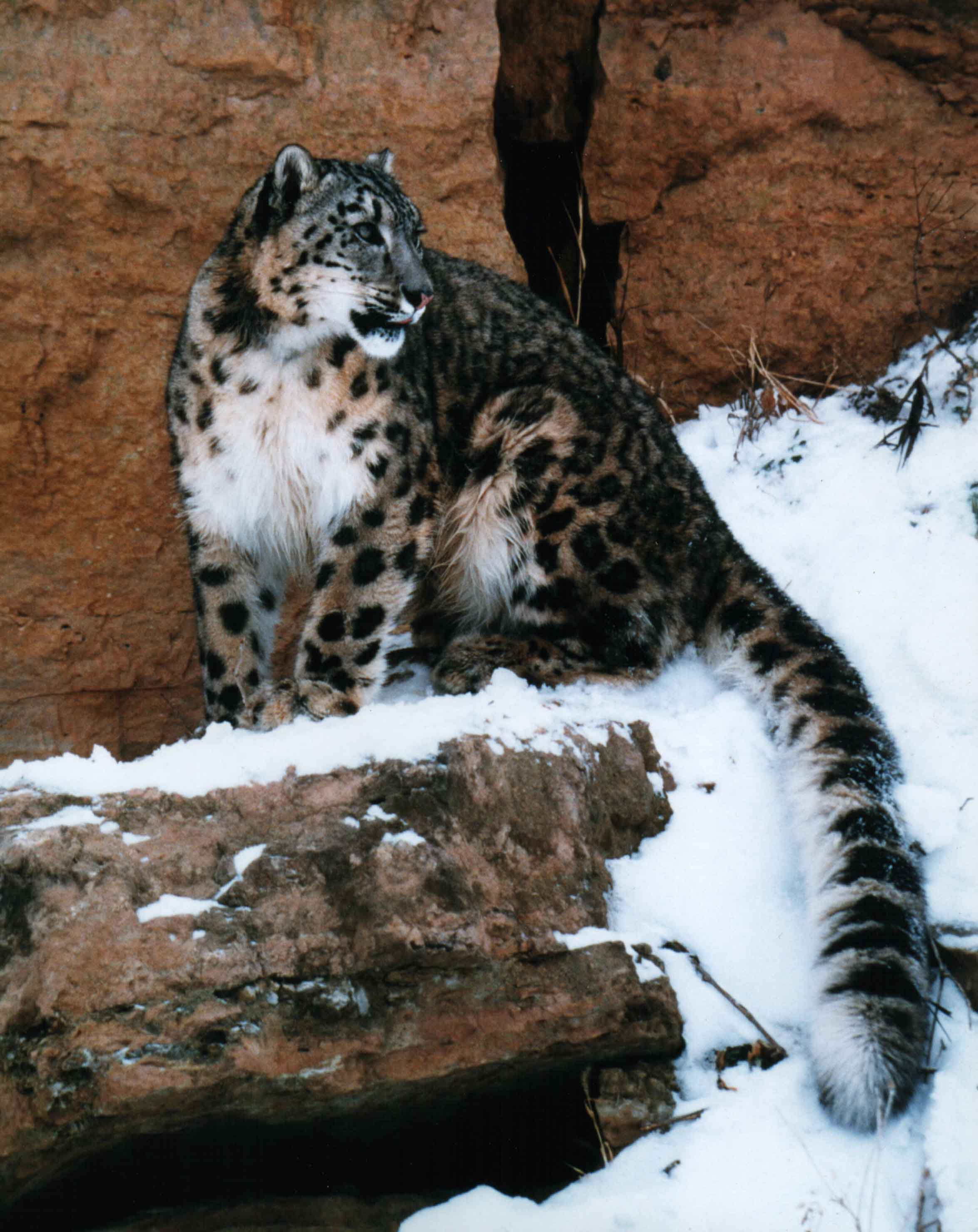 Jetta the Snow Leopard