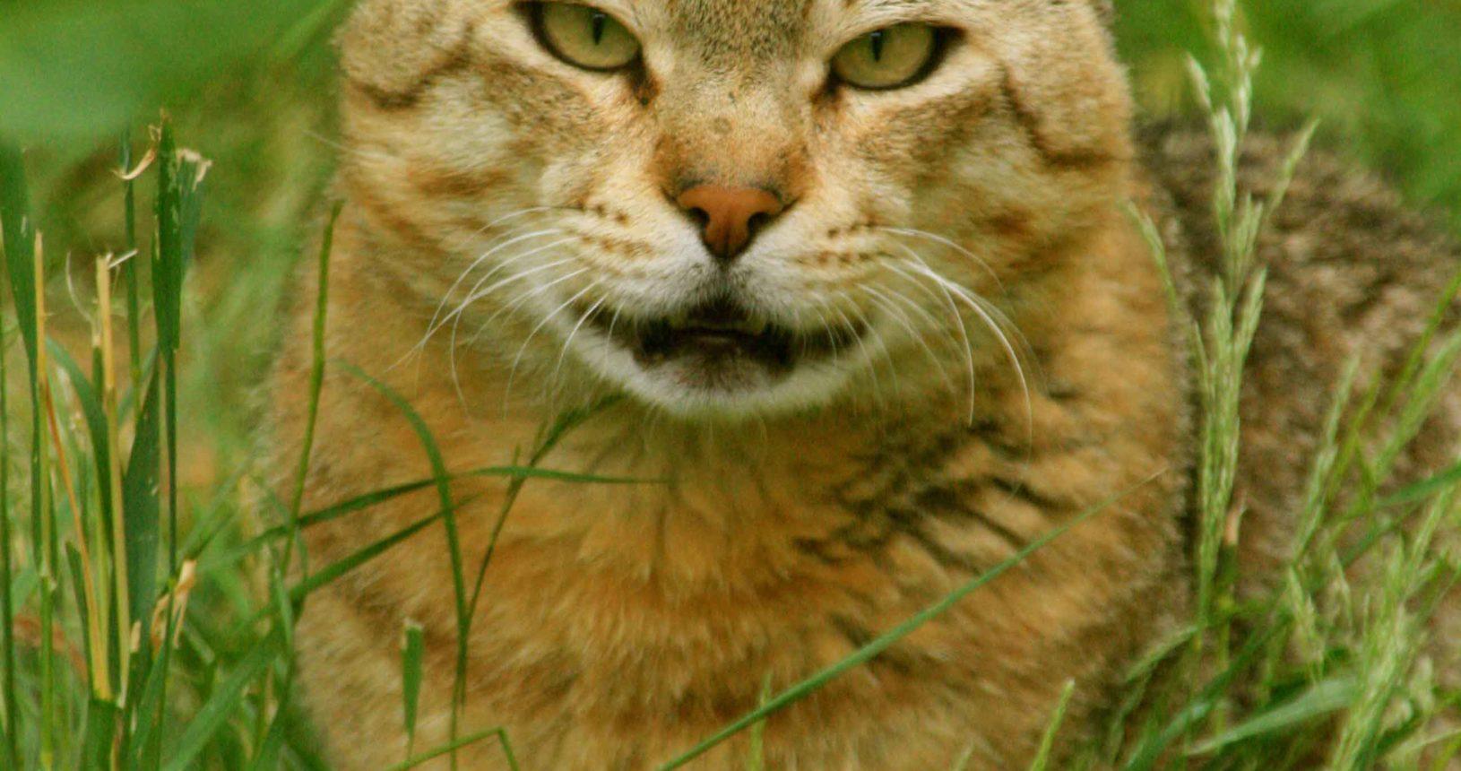 Kabeer the African Wildcat
