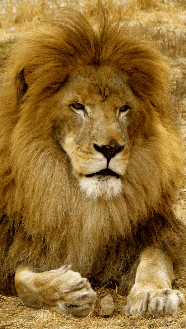 Lion_Portrait
