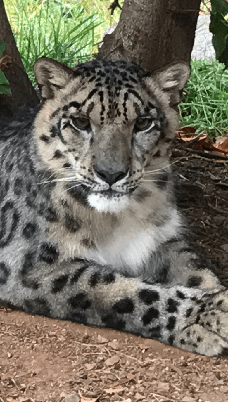 Snow_Leopard_Portrait