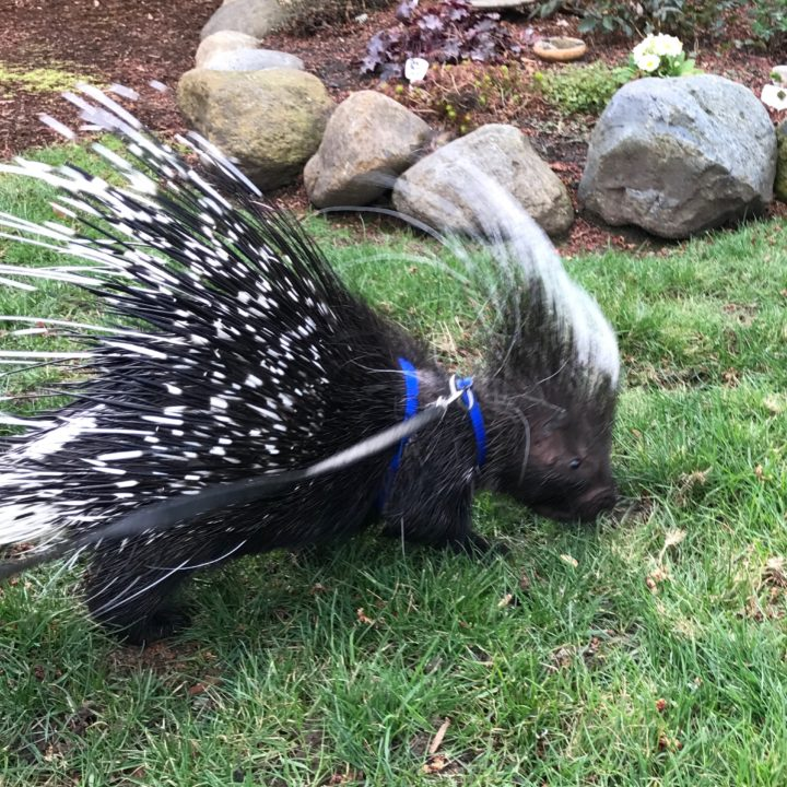 Pike the Porcupine