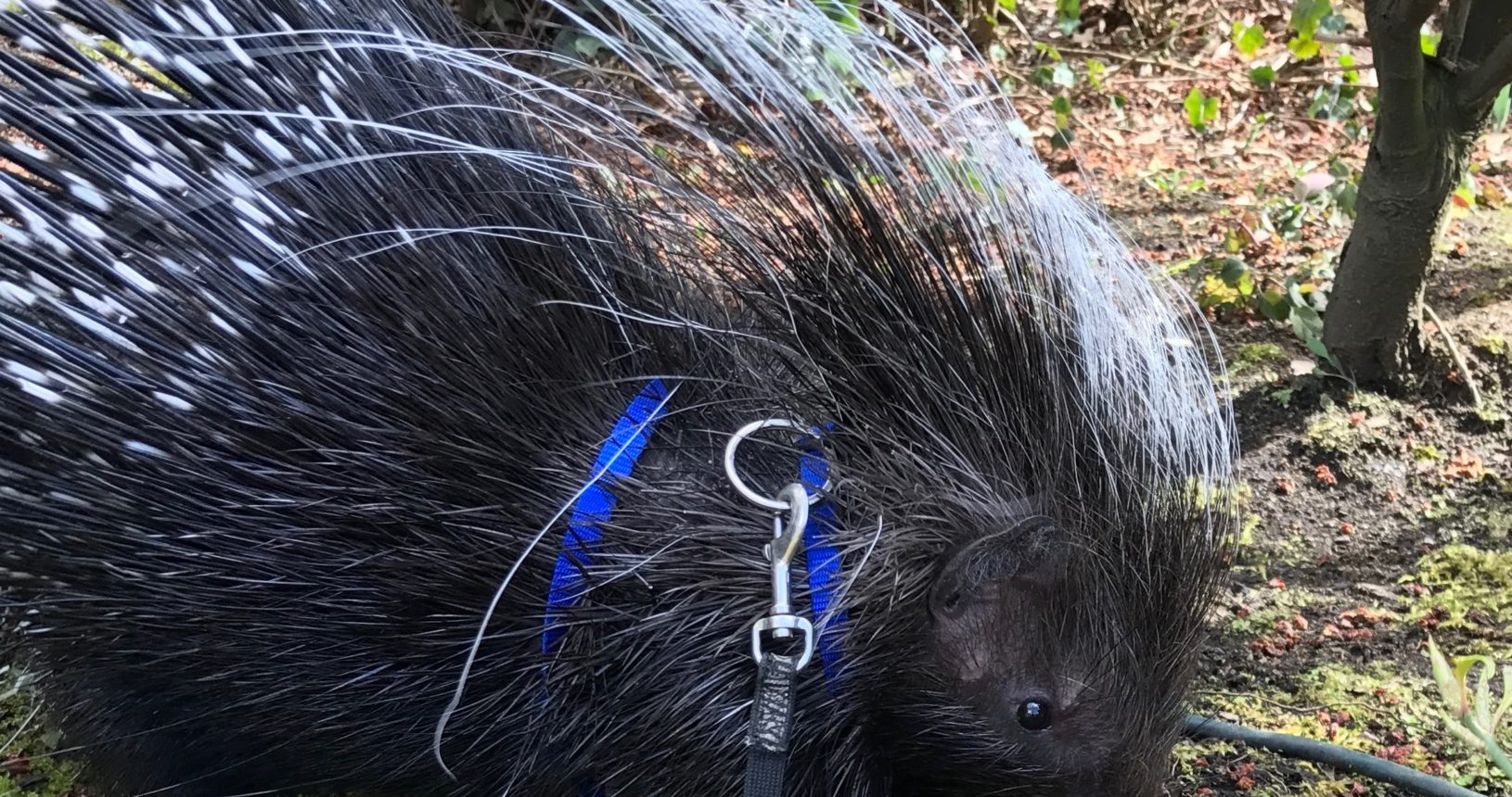 Pike the Porcupine
